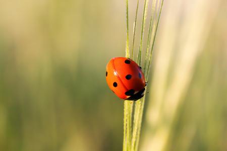 Ladybug on blade of green grass Stock Photo