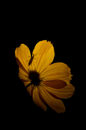 Yellow Flower with Isolated on Black Background Stock Photo