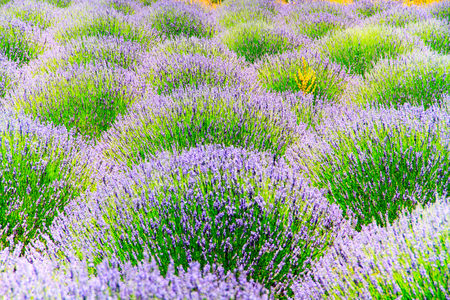 Blossoming of lavander flowers Stock Photo