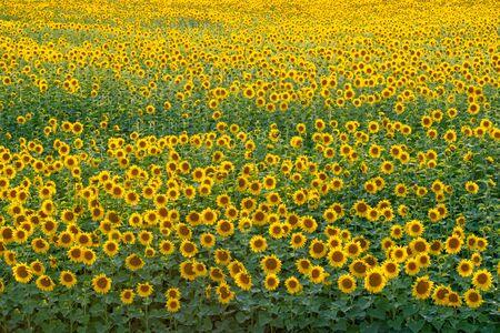 Beautiful sunflowers field