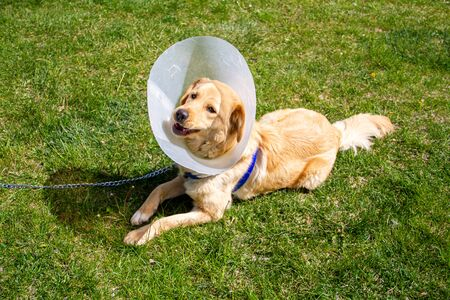 golden retriever with cone collar in park