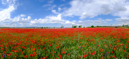 blured Red poppies on field
