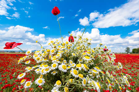 daisy bouquet and Red poppies on field