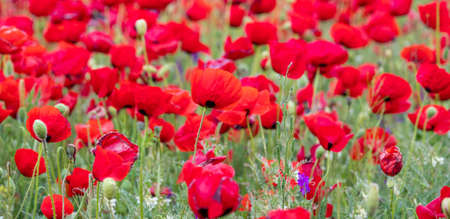 Red poppies on field Stock Photo
