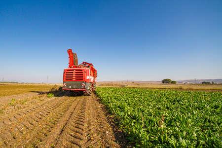 red combine harvester harvest of sugar beet Stock Photo