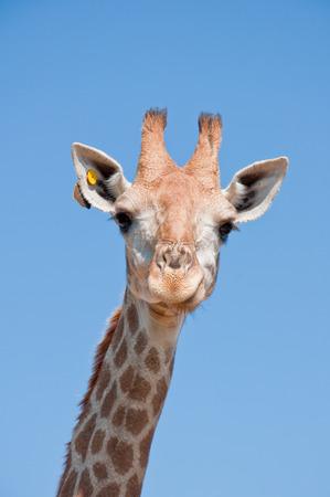 Smile giraffe