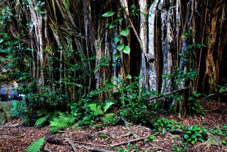 wooded: Wooded forest in Hawaii