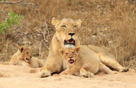 Lion Mother photo