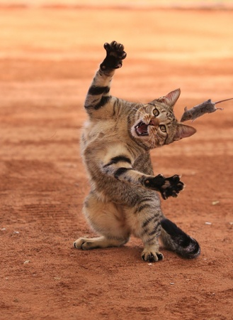 wild cat: African Wildcat and mouse Stock Photo