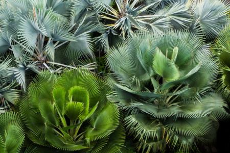 Birds eye view of lush, thriving and green fan palm bush flowerbed Stock Photo