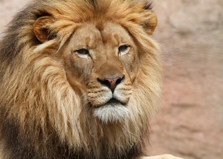 head rest: lion Stock Photo