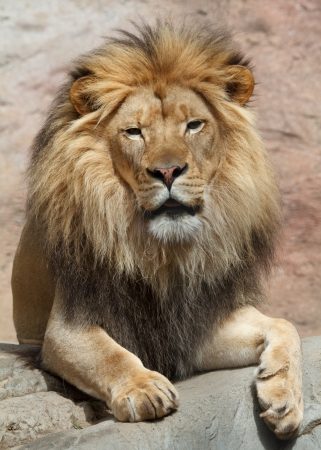 vicious: lion Stock Photo