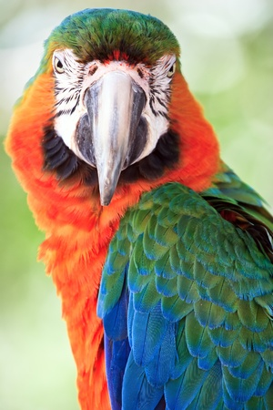 portrait of macaw  photo