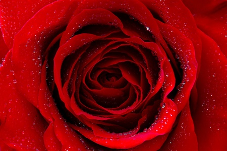 red rose with water drops  photo