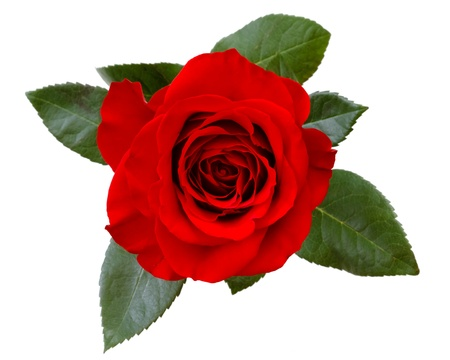 red rose isolated Stock Photo - 13188235