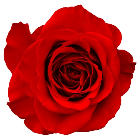 rose bud: red rose isolated