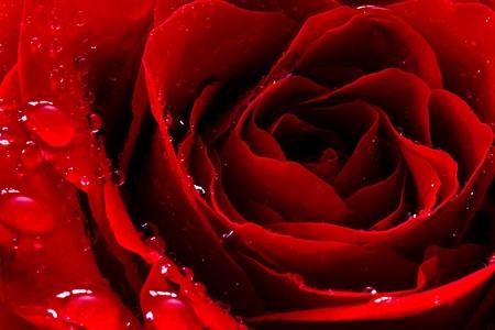 Rode roos met water druppels Stockfoto - 13188365
