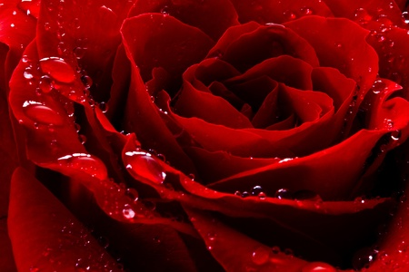 red rose with water drops  Imagens