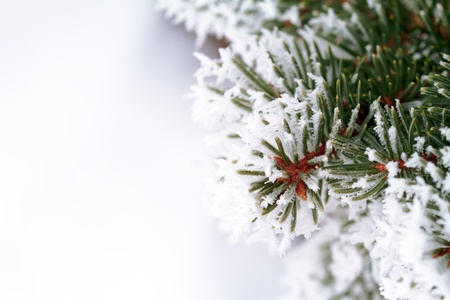 arbol de pino: escarcha