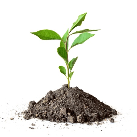 seedling growing: young plant over white background Stock Photo