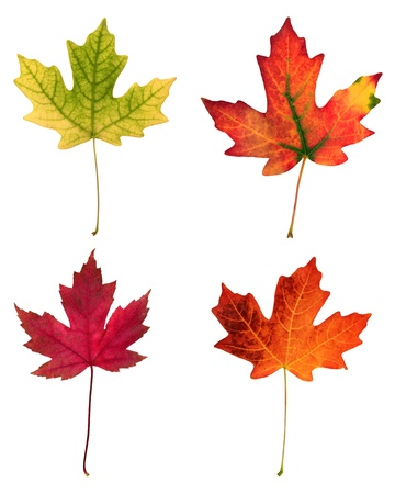 fall of the leafs: fall leafs isolated on white background  Stock Photo