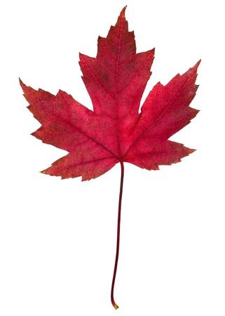秋の葉の白い背景で隔離