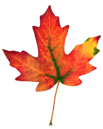 colorful fall leaf isolated on white  photo