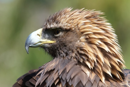 attacker: golden eagle