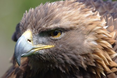 golden eagle photo