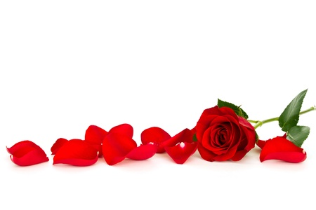 red rose: red rose with loose petals isolated on white background