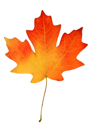 red maple leaf: fall leaf Stock Photo