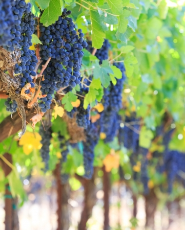 napa valley: wine grapes