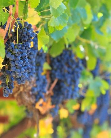 napa: wine grapes