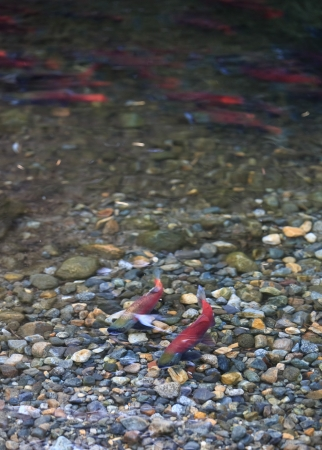 spawning salmon photo