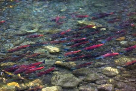 salmon migration: spawning salmon Stock Photo