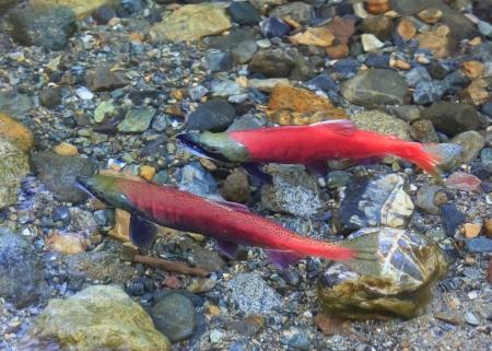 spawning: spawning salmon Stock Photo