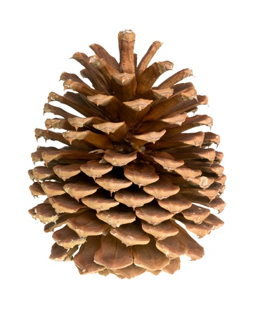 pine cone: pigna isolato