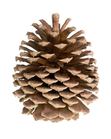 pine cone: pine cone isolated Stock Photo