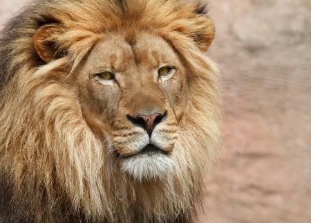 head of lion: Lion Stock Photo