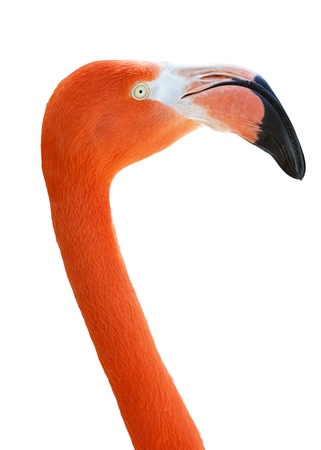 Flamingo isolated photo