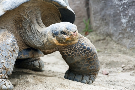 ancient turtles: giant turtle Stock Photo