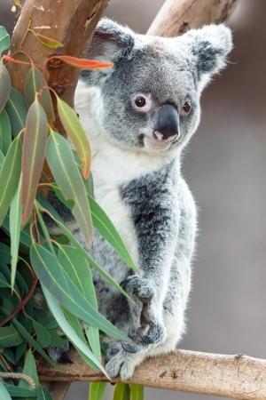 koala bear: koala Stock Photo