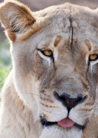 panthera leo: lion Stock Photo