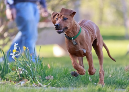 rhodesian ridgeback running in park photo