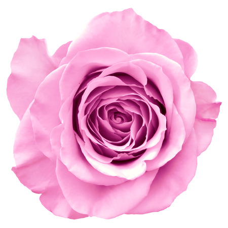 Pink rose isolated on white Stock Photo