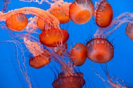 monterey: Sea Nettle Jellyfish