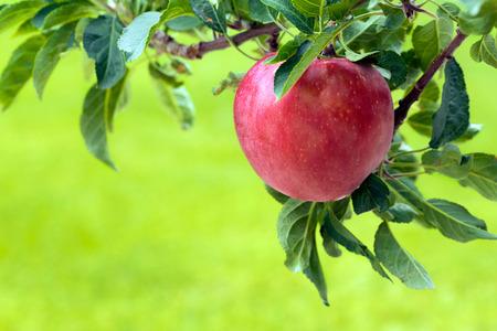 Apple tree with red apple Archivio Fotografico