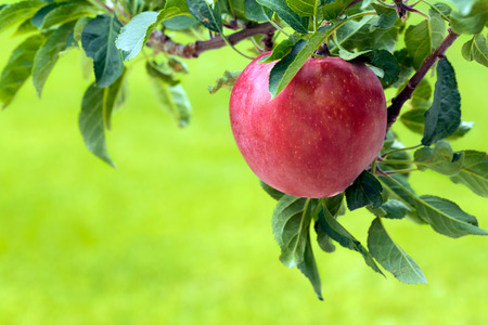 Apple tree with red apple Stock Photo