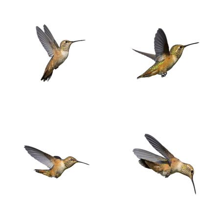 Humming bird isolated 스톡 콘텐츠