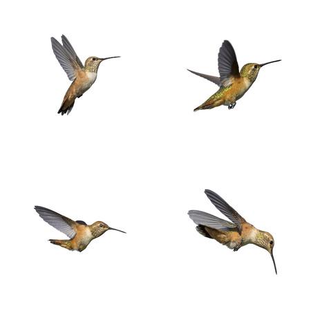 pajaros volando: P�jaro del tarareo aislado Foto de archivo